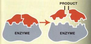 Gluten Enzymes